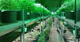 Cannabis e tumore. Il binomio sembra vincente