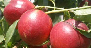 La pesca nettarina, frutto simbolo dell'estate romagnola