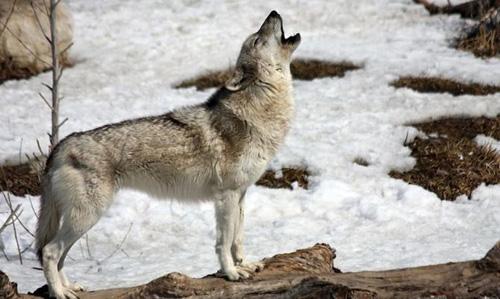 Evviva, è tornato il lupo sull'appennino tosco-romagnolo ed emiliano