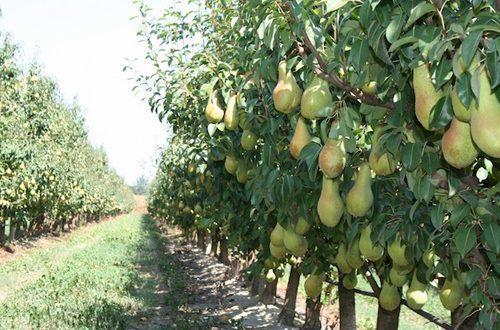 La pera, un frutto invernale gustoso con molte salutari proprietà