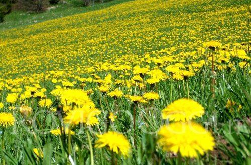 Il tarassaco, fiore primaverile utile in cucina e per la salute
