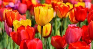 Tulipani: nei bouquet delle spose di maggio celebrano l'amore senza fine