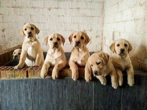 Cani: c'è chi li addestra per assistere persone con disabilità