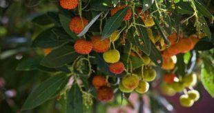 Alimenti 10 e lode. Corbezzolo: tipico arbusto quasi dimenticato