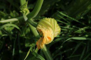 Alimenti 10 e lode: i fiori di zucca, gustosissimi fritti