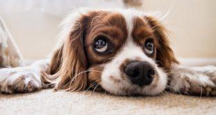 Allergia al cane: solo i maschi ne sono responsabili